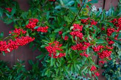 Bright red berries of bearberry cotoneaster, dammeri with green leaves stock photo