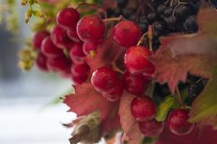 Bright red berries in a bouquet intertwined with foliage. Bright red berries in a bouquet of interwoven foliage. taken in a macro style Royalty Free Stock Photo