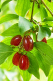 Bright red berries of cornel on the branch Royalty Free Stock Images