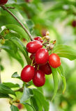 Bright red berries of cornel on the branch Stock Photo