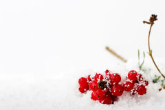 Bright red berries covered in white snow Royalty Free Stock Photos