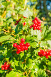 Bright red  berries with dewdrops Royalty Free Stock Image