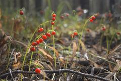Bright red berries in the forest Stock Images