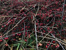Bright red berries on a green Bush. View royalty free stock image