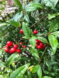 Bright red berries on a green Bush. View stock image