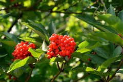 Bright red berries and green leaves of decorative red elder in the garden. Sambucus racemosa royalty free stock photo