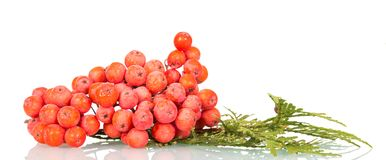 Bright red berries of mountain ash isolated on white. Background Stock Images