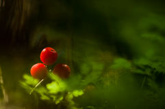 Bright Red Berries Royalty Free Stock Image