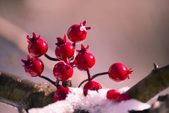 bright red berries on a snow covered branch royalty free stock photo