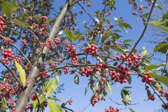 Bright red berries on tree on a suny day. Tree with red ripe berries at autumn. background, nature Royalty Free Stock Photography