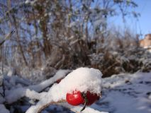 Bright red berries under white snow. Blue sky and bright sun in a winter day stock image