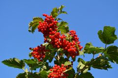 Bright red berries of viburnum against clear blue sky.  royalty free stock images