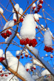 Bright red berries of viburnum on the branches in the winter Royalty Free Stock Photos