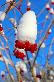 Bright red berries of viburnum on the branches in the winter Stock Photo
