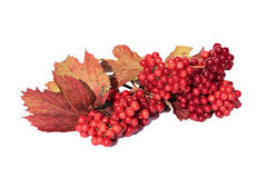The bright red berries of Viburnum Royalty Free Stock Images