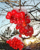 Bright red berries of viburnum. Bright red viburnum with pieces of ice on top of the background of a sunset Royalty Free Stock Photo