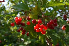 Bright red berries of viburnum. Sunny day in the garden.  stock images