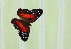 The bright red with white points butterfly sitting on the wall. The bright red and black with white points butterfly sitting on the wall Royalty Free Stock Photos