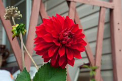 Bright red blossomed flower of a dahlia Stock Photography