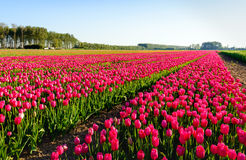 Bright red blossoming tulips in early morning sunlight Royalty Free Stock Images