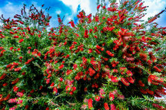 Bright Red Blossoms on a Bottlebrush Tree  in Texas. Royalty Free Stock Photos