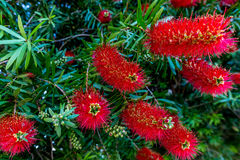 Bright Red Blossoms on a Bottlebrush Tree  in Texas. Royalty Free Stock Photo