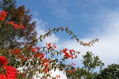 Bright red bougainvillea against blue sky with cloud whisps and gum and evergeen trees royalty free stock photos