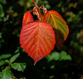 Bright red bramble leaf Royalty Free Stock Photo