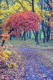 Bright red branch among the yellow foliage. Above the path in the autumn forest Stock Photo