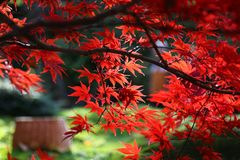 Bright red branches of Japanese maple or Acer palmatum. Close-up of bright red branches of Japanese maple or Acer palma on the aun garden royalty free stock photo