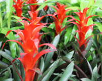Bright Red Bromelia Flowers. Cluster Of Bromelia Flowers At The Garden Stock Photos
