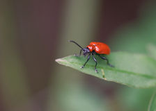Bright red bug insect on green leaf. In closeup Stock Photography