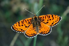 Bright red butterfly on a meadow. Brush-footed butterflies. Close up. Stock Image