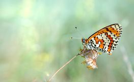 Bright red butterfly on a meadow. Brush-footed butterflies. Closeup. Copy spaces. stock image