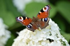 Bright red butterfly peacock eyes stock images