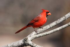 Bright Red Cardinal Stock Photos