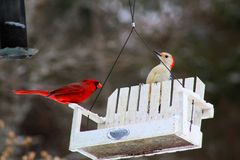 Bright red cardinal bird on feeder. Bright red cardinal bird feeder in missouri bird royalty free stock image