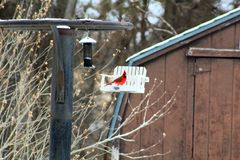 Bright red Cardinal bird in the snow on a bird feeder royalty free stock photo