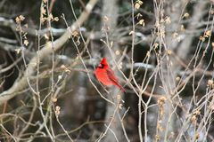 Bright red cardinal bird in winter. Bright red cardinal bird feeder in missouri bird mid flight winter royalty free stock image