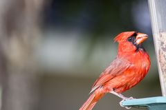 Male cardinal perched on a feeder. A bright red cardinal perched on a backyard Bird feeder looking at the seeds behind the plastic of the feeder stock image