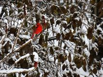 Bright red cardinal perched on a branch covered of snow. In winter royalty free stock images