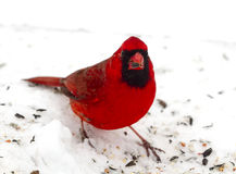 Bright Red Cardinal - Snow Royalty Free Stock Photo