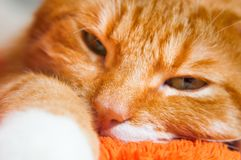 Red cat close up sweetly sleeping Stock Photo