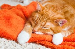 Red cat sweetly sleeping on the couch Royalty Free Stock Photo