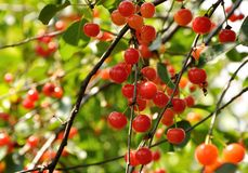 Bright red cherries on the branch Stock Photos