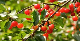 Bright red cherries on the branch Royalty Free Stock Image