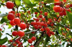 Bright red cherries on the branch Royalty Free Stock Photography