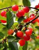 Bright red cherries on the branch Stock Images
