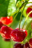 Bright red cherries with water drops in sunlight Royalty Free Stock Photography