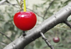 Bright red cherry. Sweet, bright red cherry attracts the eye Royalty Free Stock Photography